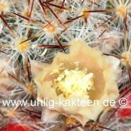 Mammillaria prolifera  f. texana