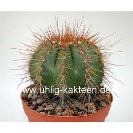 Melocactus oreas f. multiceps
