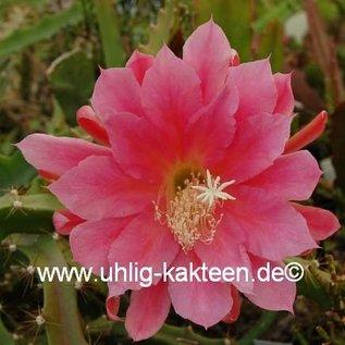 Disocactus horichii   Costa Rica