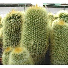 Notocactus leninghausii   (syn. Eriocactus)
