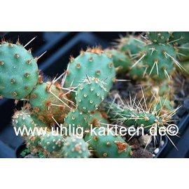 Opuntia fragilis SB 595 x polyacantha Wayne Co. Utha    (dw)