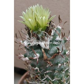 Turbinicarpus flaviflorus       CITES