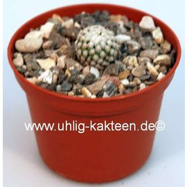 Turbinicarpus Hybride    (CITES)