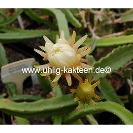 Werckleocereus tonduzii