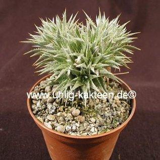 Abromeitiella brevifolia    Bromeliaceae