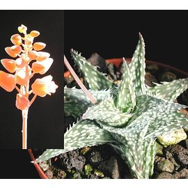 Aloe descoingsii   v. angustina Tulear   CITES