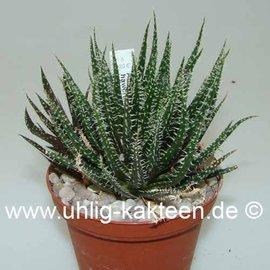 Aloe haworthioides    (CITES)