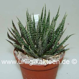 Aloe haworthioides    feinpappilös, stammlos, Blüte gelb   CITES