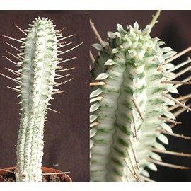 Euphorbia mammillaris  cv. alba