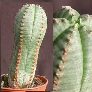 Euphorbia obesa x jansenvillensis