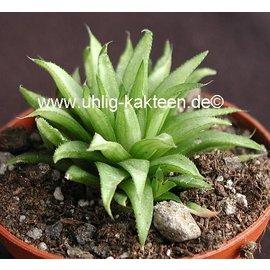 Haworthia chloracantha Herbertsdale