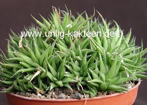 Haworthia chloracantha v denticulifera maaselbaii uhlig for Artichaut plante grasse