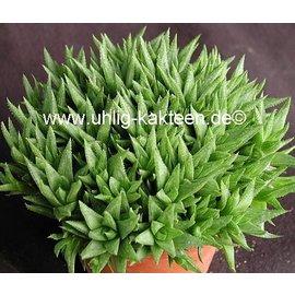 Haworthia variegata v. modesta Bredasdorp