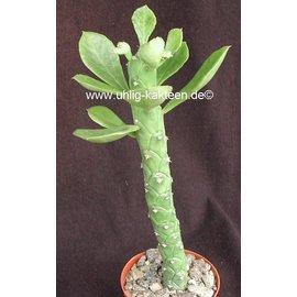 Monadenium lugardae