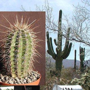 Carnegiea gigantea  `Saguaro`  Pima Co.
