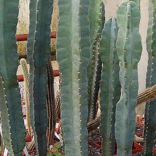 Cereus peruvianus  Typ