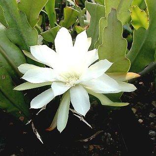 Epiphyllum-Hybr. Reward