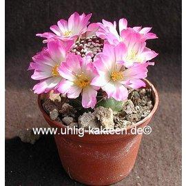 Mammillaria luethyi hinchada.