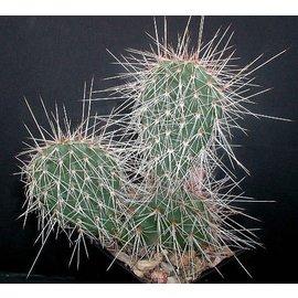 Opuntia hystricina-Hybr.  Hagen`     (dw)