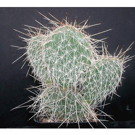Opuntia hystricina-Hybr.  `Halle`      (dw)