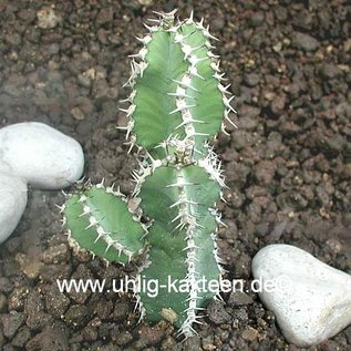 Euphorbia polyacantha