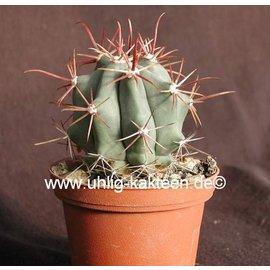 Ferocactus californicus
