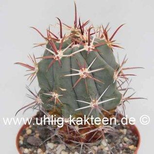 Ferocactus townsendianus   El Cien, BC del Sur