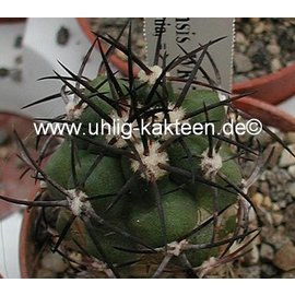 Copiapoa vallenarensis WK 779