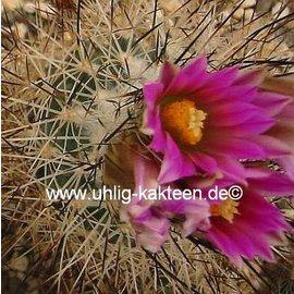 Gymnocactus beguinii v. senilis   (CITES)