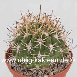 Pyrrhocactus spec. La Ligua