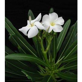 Pachypodium lamerei fo. fiherenense