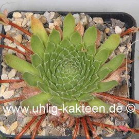 Sempervivum caucasicum       (dw)