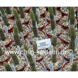 Arrojadoa rhodantha  ssp. theunisseniana
