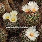Coryphantha georgii