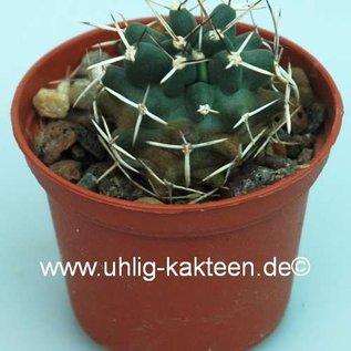 Echinocereus fendleri v. kuenzleri
