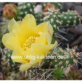 Opuntia fragilis LZ 341 v. brachyarthra Faith, South Dakota, 700 m    (dw)
