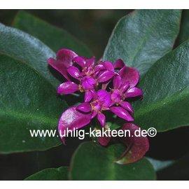 Pereskia grandifolia  v. violacea