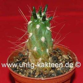 Tephrocactus lagopus  v. aureus