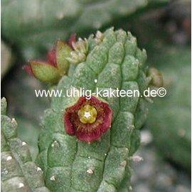 Echidnopsis cereiformis v. brunnea