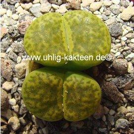 Lithops bromfieldii v. insularis cv. Sulphurea