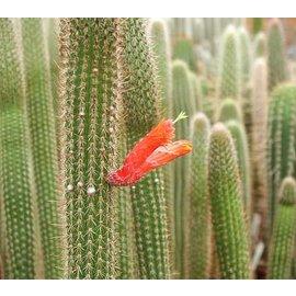 Cleistocactus baumannii HU 373 subsp. horstii