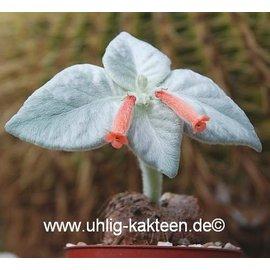 Sinningia leucotricha   (syn. Rechsteineria)