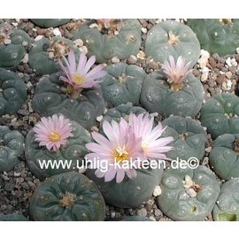 Lophophora williamsii v. decipiens -> on request