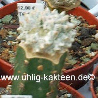 Astrophytum myriostigma  `Lotusland`  gepfr.