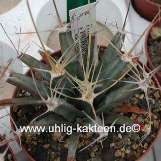 Ferobergia PRIFOR / PRI R2 x PRIFOR