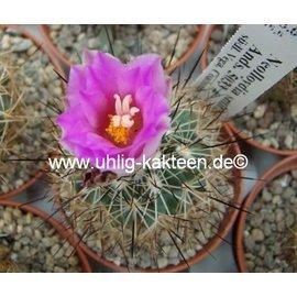 Neolloydia smithii Ands. 5033  südl. Vega, Coahuila, Mexico   CITES