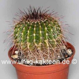 Notocactus nigrispinus