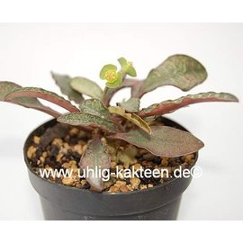 Euphorbia francoisii   Madagaskar   CITES