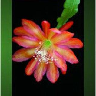 Epiphyllum Band 2 Frank Süpplie