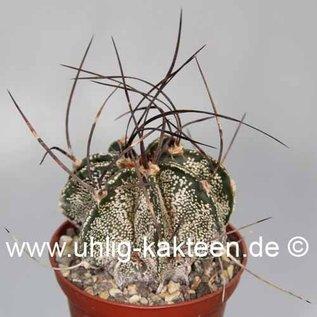 Astrophytum capricorne   Saltillo Coahuila